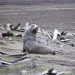Antarctic Fur Seal (Arctocephalus gazella)